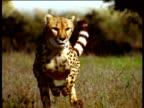 Cheetah running directly towards camera on savanna