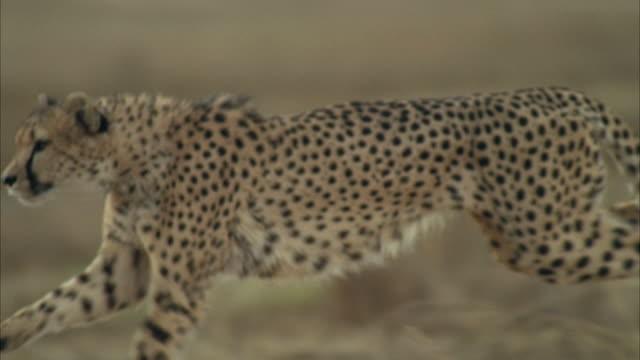CU POV SLO MO Cheetah running fast across field / Unspecified