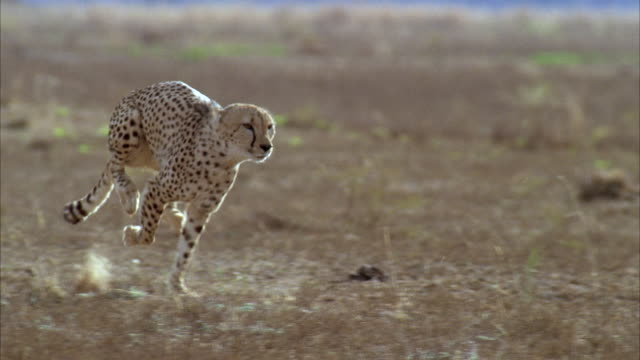 MS TS SLO MO Cheetah running fast through field of tall grass / Unspecified