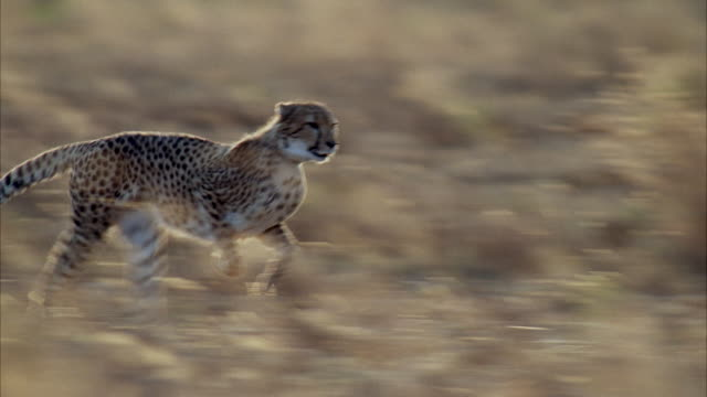 MS TS Cheetah running fast through field of tall grass / Unspecified