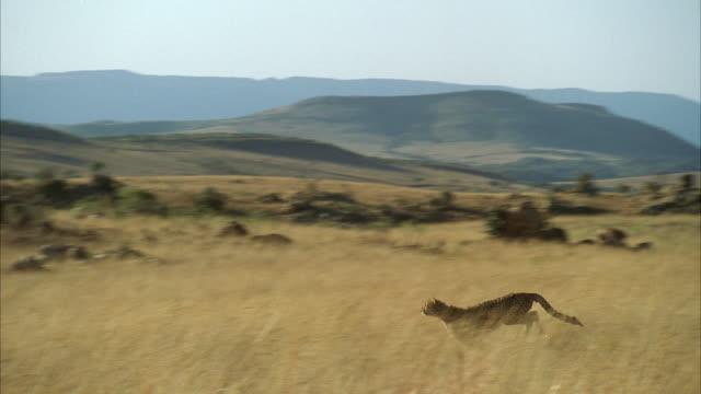 WS POV  Cheetah running  through  tall grass of  open field / Unspecified