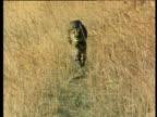 Cheetah runs directly towards camera on savanna.
