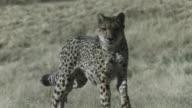 A cheetah runs fast through grasslands. Available in HD.