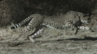A cheetah runs on a trail past shrubs. Available in HD.