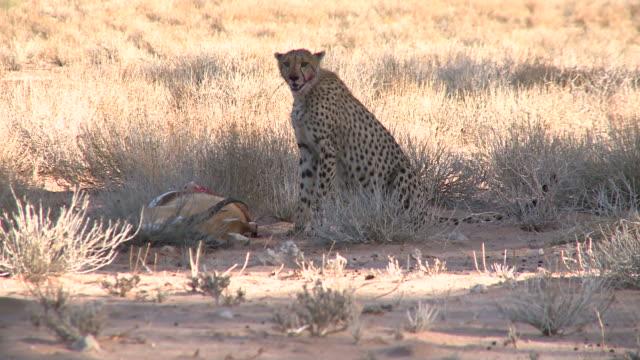 Cheetah sitting next to his killed Springbok