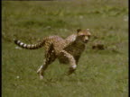 Cheetah sprinting through grass as he chases after something