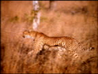 Cheetah steps off dead tree trunk and canters off into grasslands, Botswana