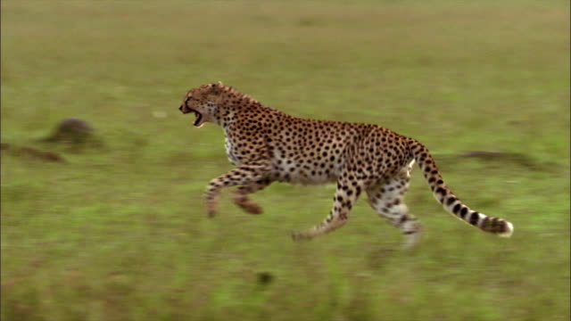 Cheetah tries to escape from hyenas