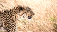 SLOW MO CU Cheetah Walking In The Grass