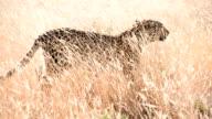 SLOW MO LS Cheetah Walking In The Grass