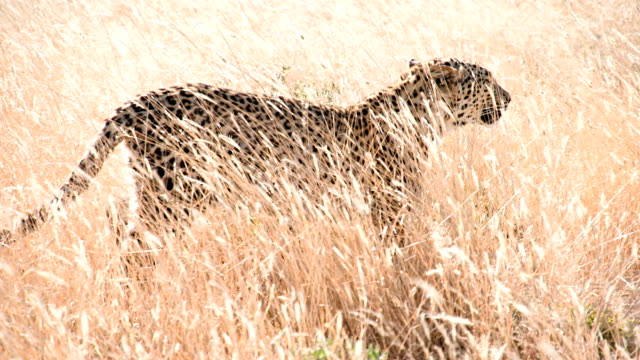 SLOW MO LS Cheetah Walking In The Grass