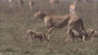 Cheetah walks across savannah with six cubs. Available in HD