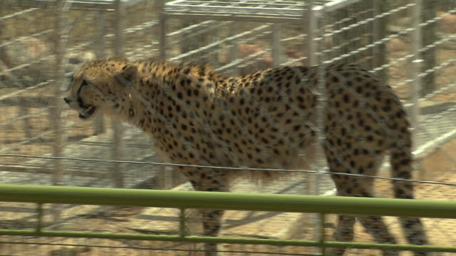 A cheetah walks around its enclosure. Available in HD.