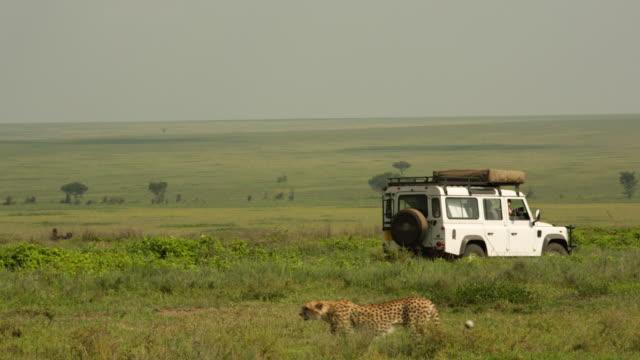 Cheetah walks nonchalantly past a parked safari vehicle