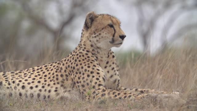 MS SLO MO R/F Cheetah watching for prey / Kruger National Park, Mpumalanga, South Africa