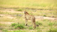 Cheetah watching for preying at wild