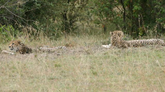 Cheetah vaktande för jagar på vilda