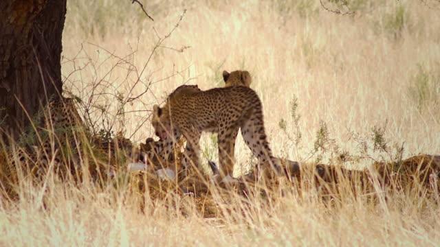 Cheetahs feeding on a springbok
