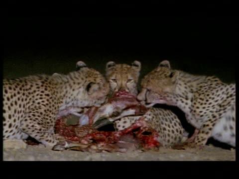 MS 4 cheetahs feeding on carcass, Botswana