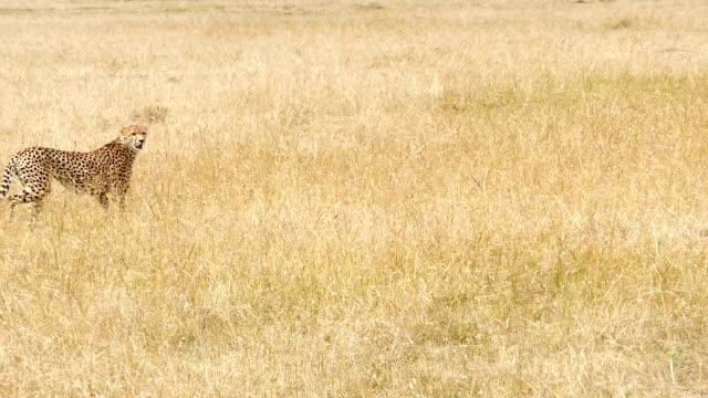 Geparder jakt / jagar