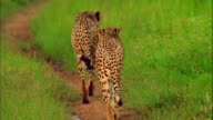 Cheetahs wander off a trail in tall grass. Available in HD.