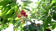 MONTAGE: Cherries on the branch
