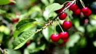 Cherries on Tree