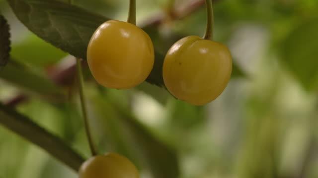 T/L Cherries (Prunus sp.) CU ripening, United Kingdom
