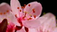 Cherry blooming flowers
