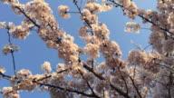 Cherry blossom at Chidorigafuchi in Tokyo