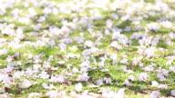 Cherry blossom fallen on grasses floor