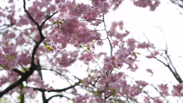 Cherry blossom flowers ,Japan