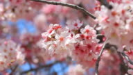 Cherry Blossom-HD-Video