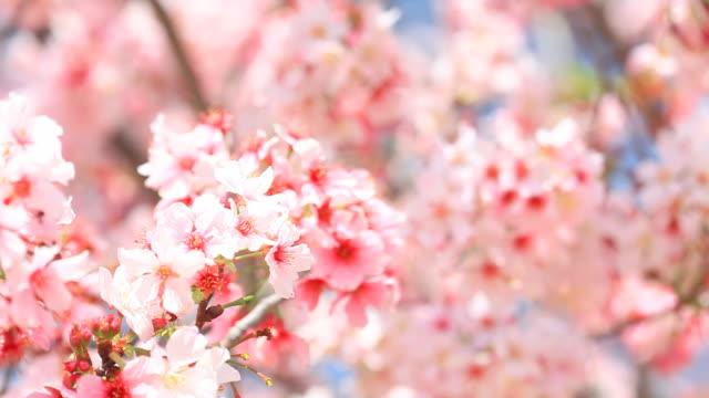 Cherry Blossom - HD Video