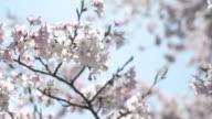 Kirschblüte in voller Blüte