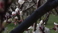 Cherry Blossom - Krems/Austria (4K)