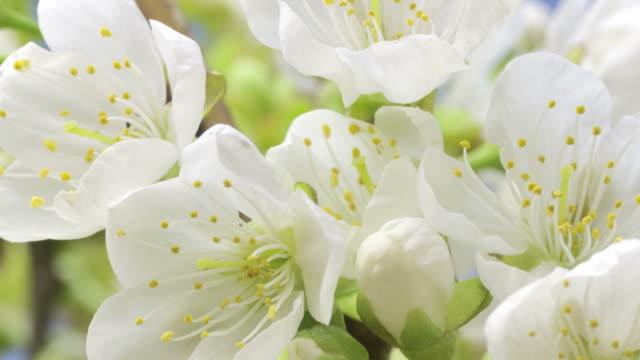 cherry blossom opening