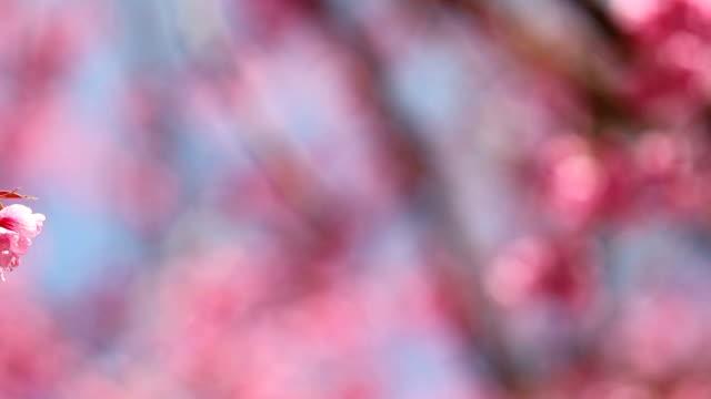 cherry blossom panning shot