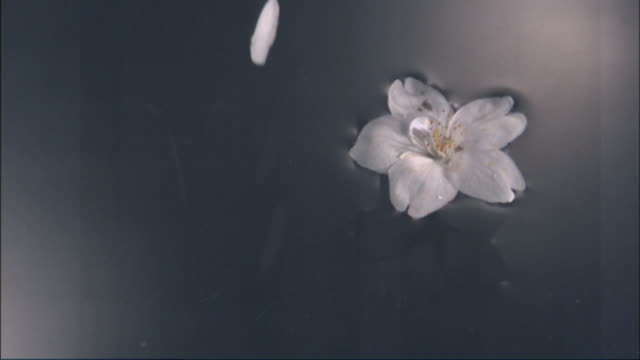 Cherry blossom petal drops on to water next to more floating cherry blossom