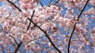 Kirsche Blüte, Sakura 4 k (UHD