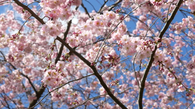 Cherry Blossom, Sakura, 4K(UHD)