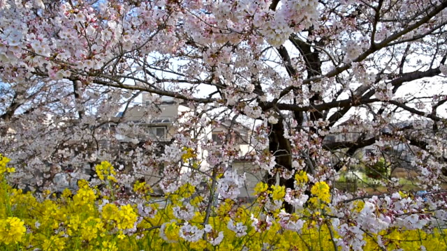 Cherry Blossom Sakura and Nanohana flower at Kumagaya, Saitama, Japan