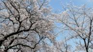 cherry blossom sakura in spring time