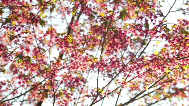 Cherry Blossom Sakura Series