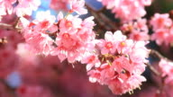 Kirschblüte und Sakura