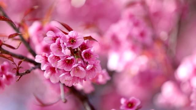 Cherry Blossom shift focus, HD