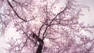 Kirsche Blumen blühen -Walk- - 4 k