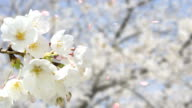 cherry blossom Weiß