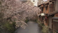 MS ZO Cherry blossoms and bridge on canal, Gion, Kyoto, Japan