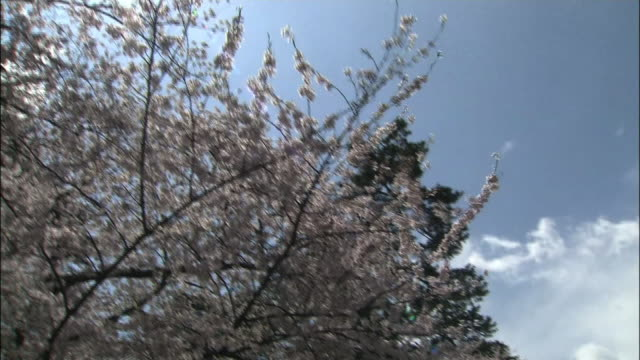 Cherry blossoms and hirosaki castle